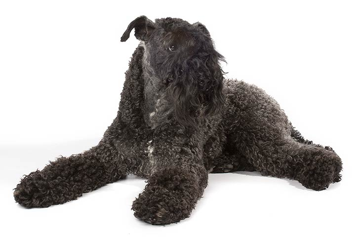 Kerry Blue Terrier lying in three-quarter view, head turned right