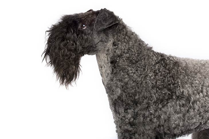 Kerry Blue Terrier head and shoulders facing left