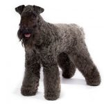 Kerry Blue Terrier standing in three-quarter view