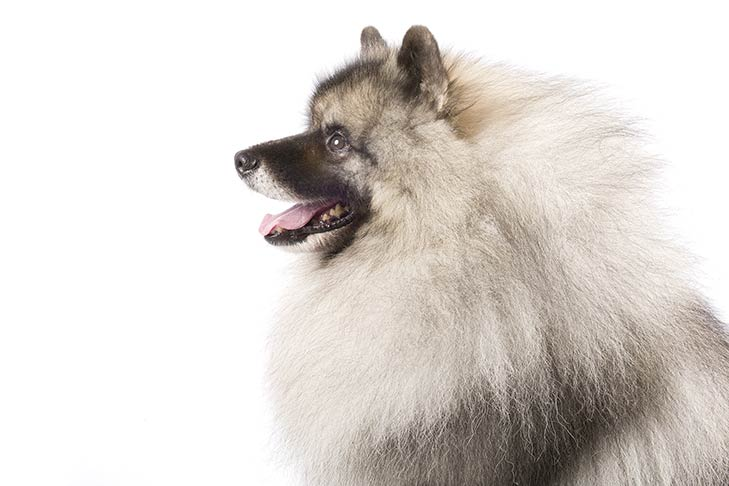 Keeshond head facing left