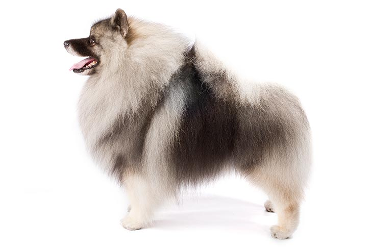 Keeshond standing sideways facing left