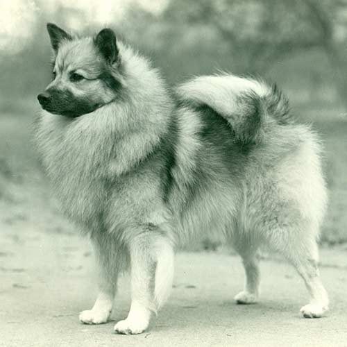 Keeshond Dog Breed Information