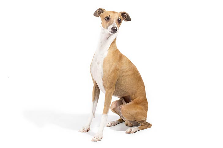 Italian Greyhound sitting in three-quarter view