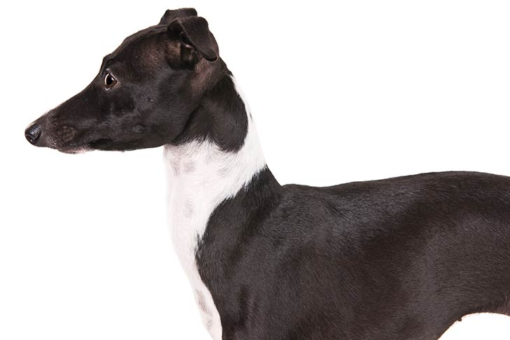 Italian Greyhound head and shoulders facing left