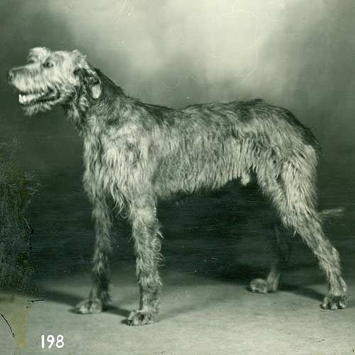 Pictures Of Wolfhound Dogs