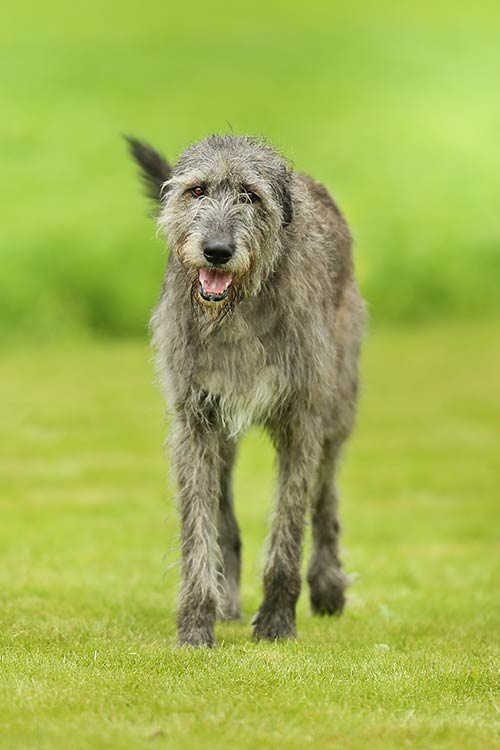 photos of irish wolfhound irish wolfhound dog breed information 7310
