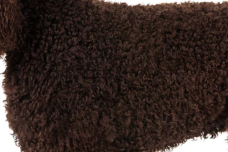 Irish Water Spaniel coat detail