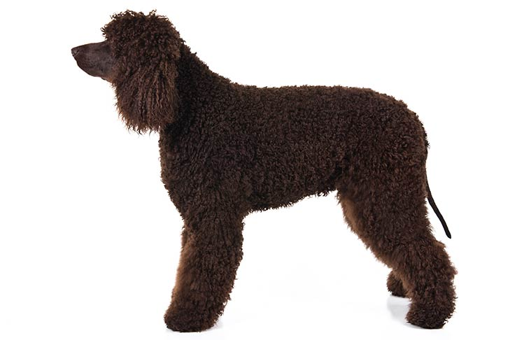 Irish Water Spaniel standing sideways facing left