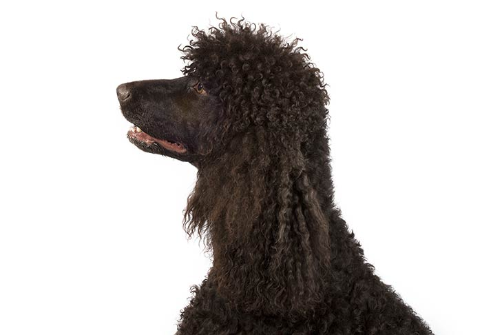 Irish Water Spaniel head facing left