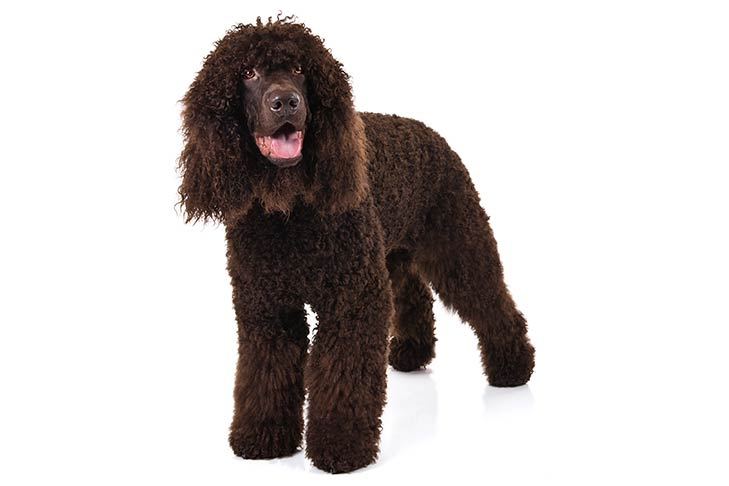 Irish Water Spaniel standing in three-quarter view
