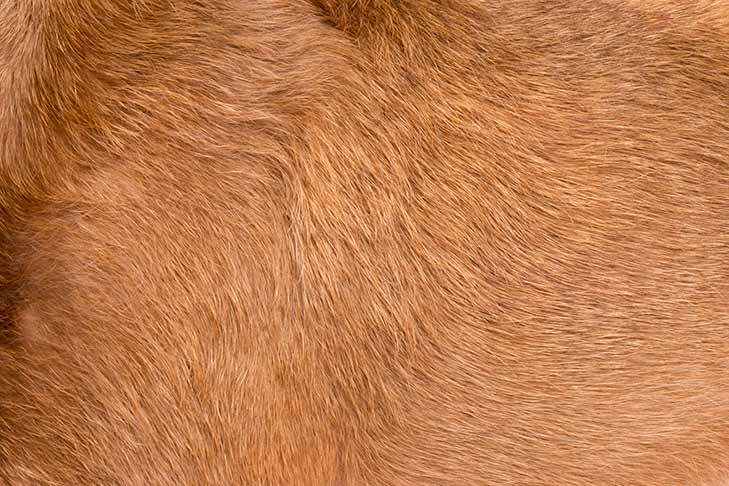Irish Terrier coat detail