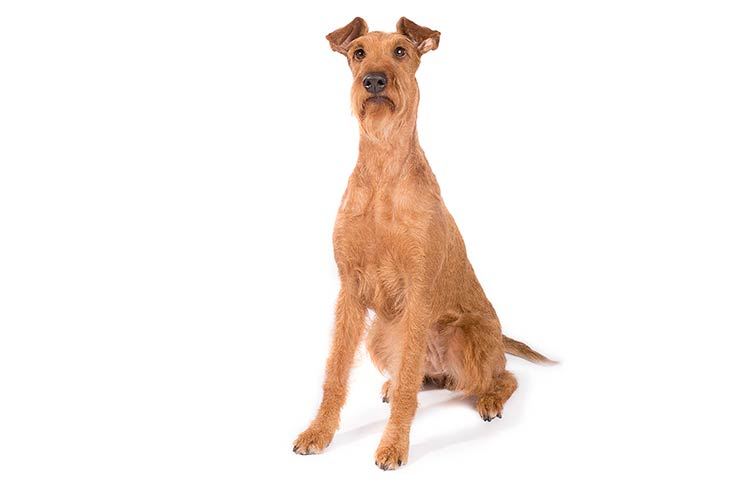 Irish Terrier sitting in three-quarter view
