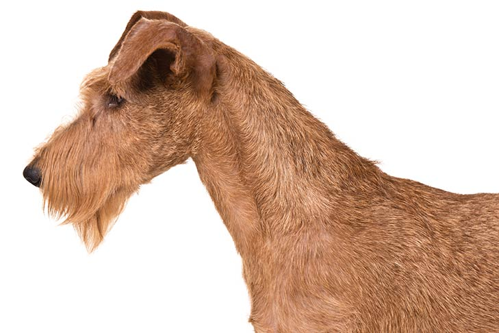 Irish Terrier head facing left