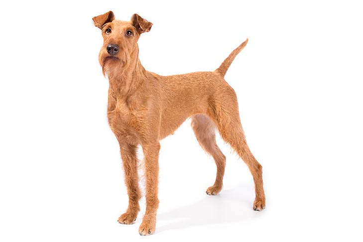 Irish Terrier standing in three-quarter view