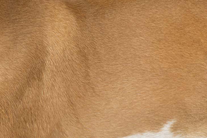Ibizan Hound coat detail