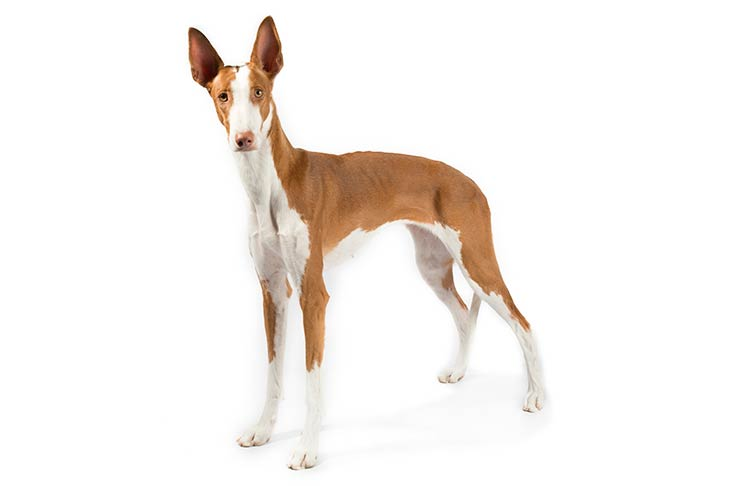Ibizan Hound standing in three-quarter view facing forward