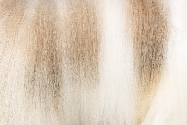 Havanese coat detail