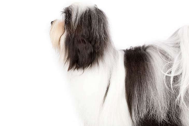 Havanese head and shoulders facing left