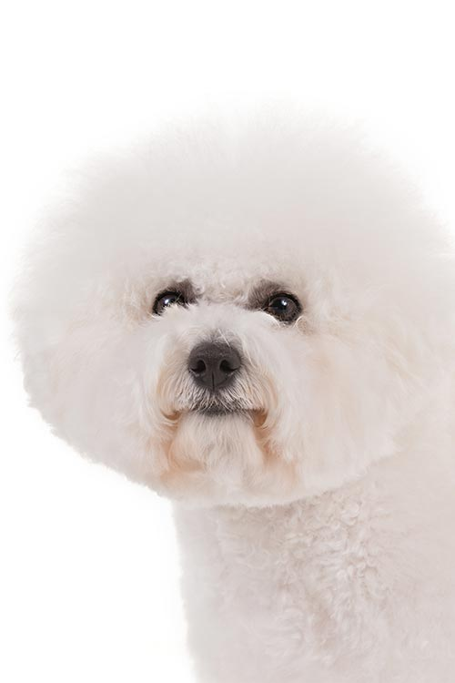 Bichon Frise head portrait.