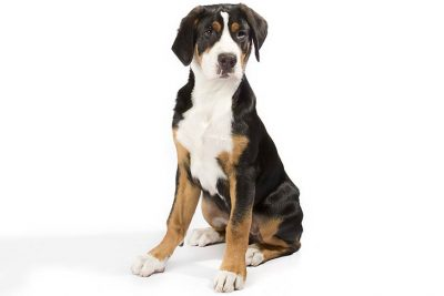 Greater Swiss Mountain Dog Pictures American Kennel Club