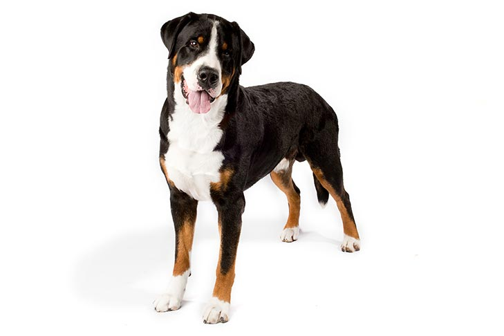 Greater Swiss Mountain Dog standing in three-quarter view facing forward