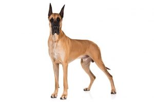 Great Dane standing in three-quarter view facing forward