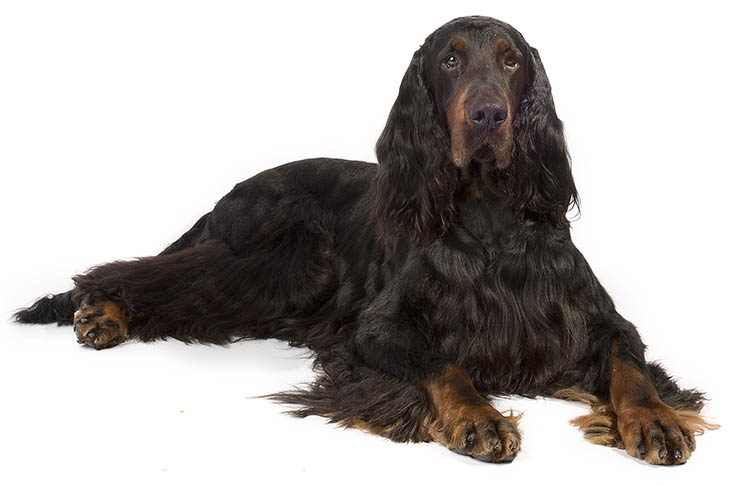 Gordon Setter lying in three-quarter view