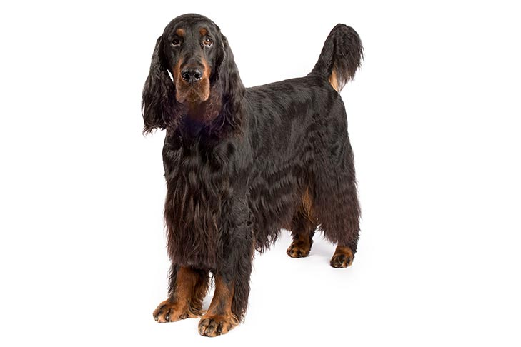 Gordon Setter standing in three-quarter view