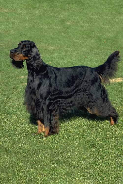 Gordon Setter Dog Breed Information