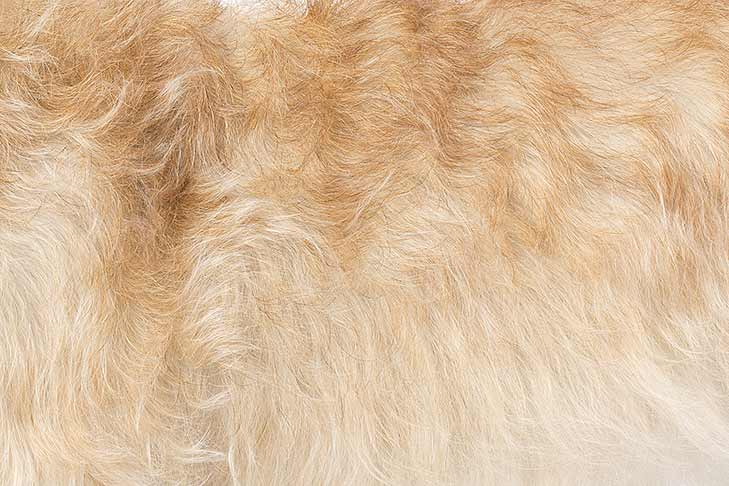 Glen of Imaal Terrier coat detail