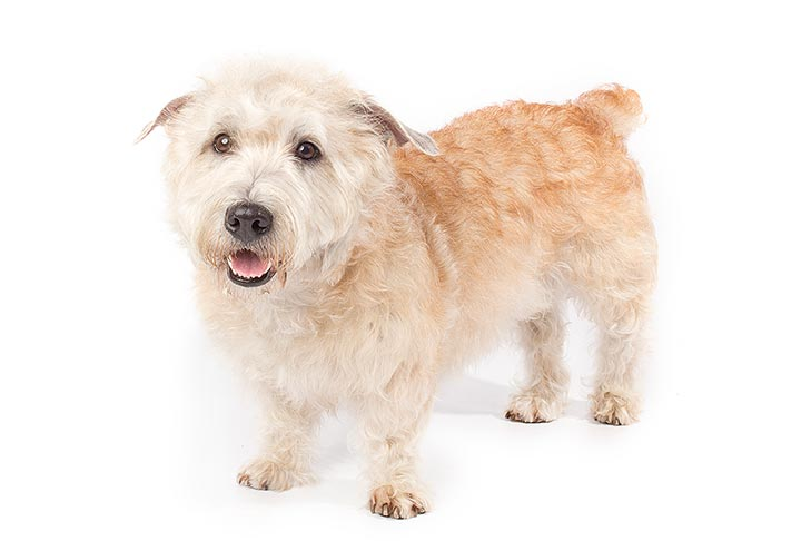 Glen of Imaal Terrier standing in three-quarter view