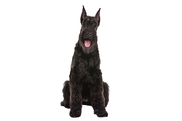 Giant Schnauzer sitting facing forward