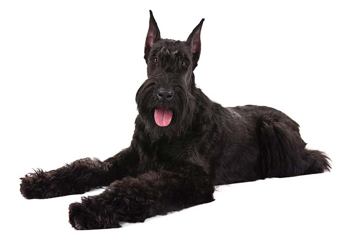 Giant Schnauzer lying in three-quarter view facing forward