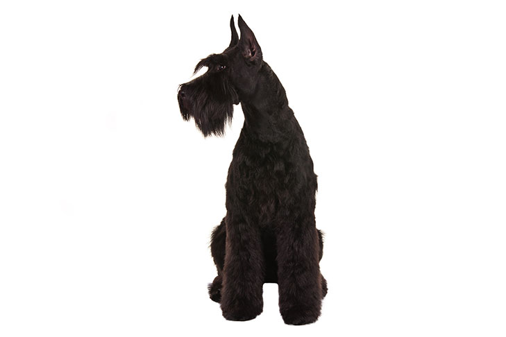 Giant Schnauzer sitting facing forward, head turned left