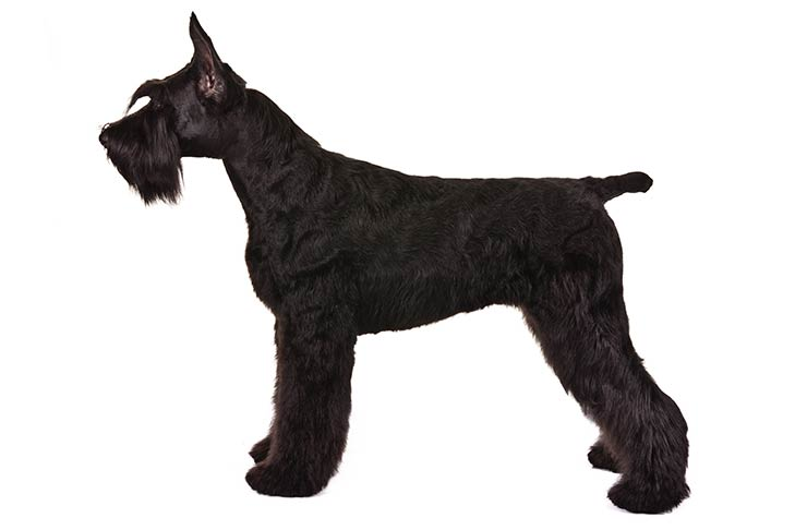 Giant Schnauzer standing sideways facing left