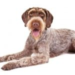 German Wirehaired Pointer lying in three-quarter view facing forward