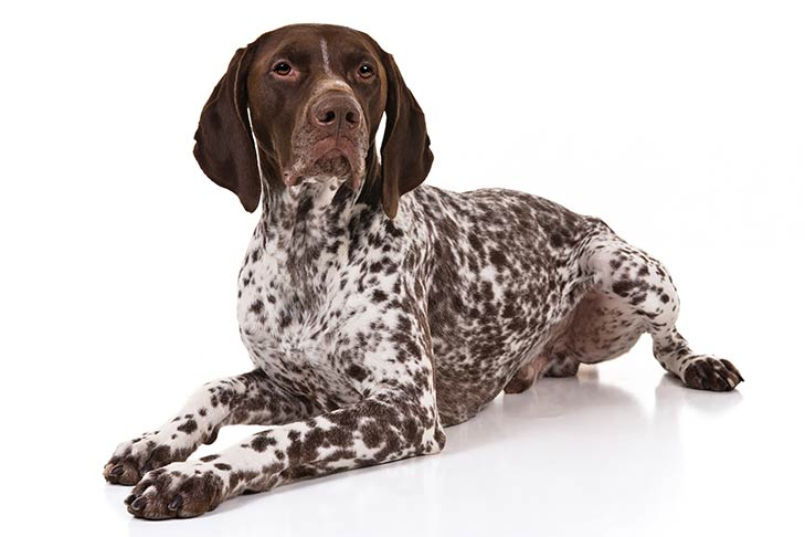 German Shorthaired Pointer lying in three-quarter view, head turned right