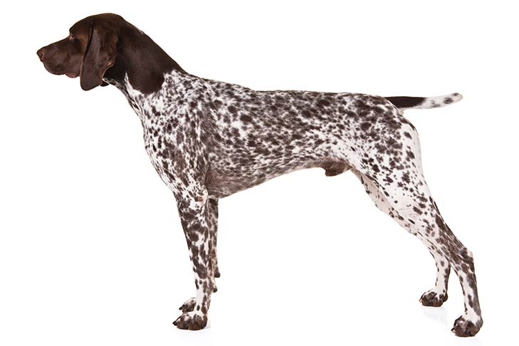 German Shorthaired Pointer standing sideways facing left