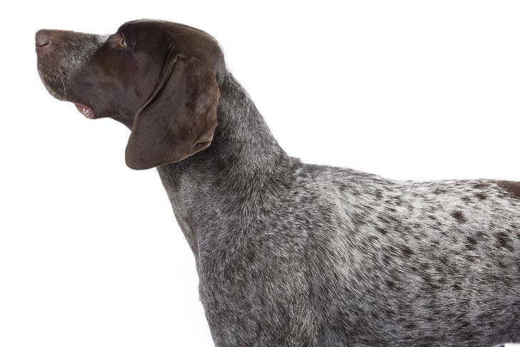 German Shorthaired Pointer head and shoulders facing left
