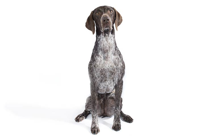 German Shorthaired Pointer sitting facing forward