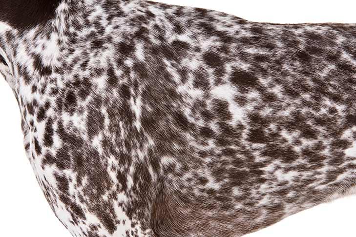 German Shorthaired Pointer coat detail