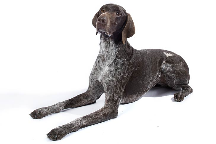 German Shorthaired Pointer lying in three-quarter view