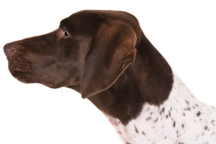 German Shorthaired Pointer head facing left