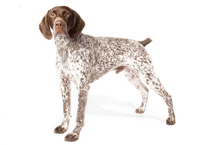 German Shorthaired Pointer standing in three-quarter view facing forward