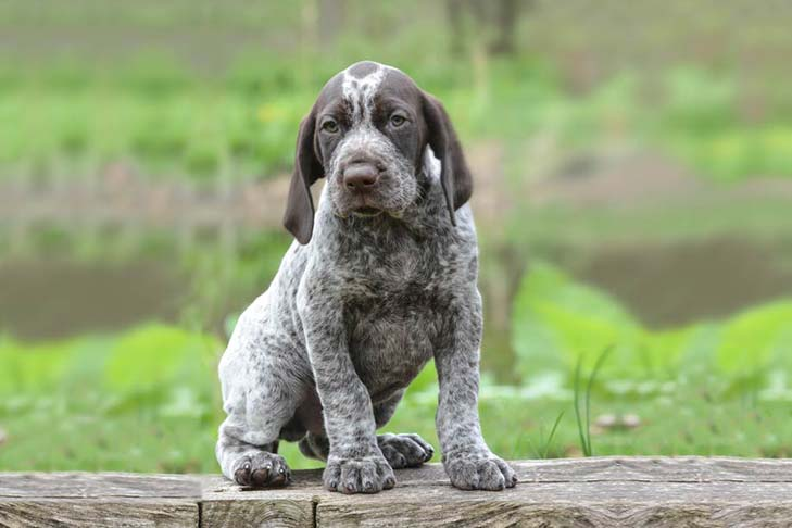 how to train a german shorthaired pointer puppy