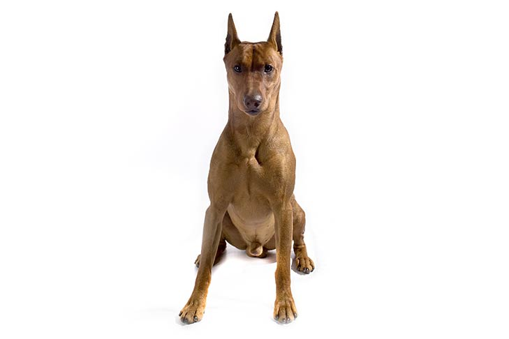 German Pinscher sitting facing forward