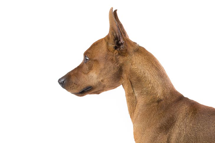 German Pinscher head facing left