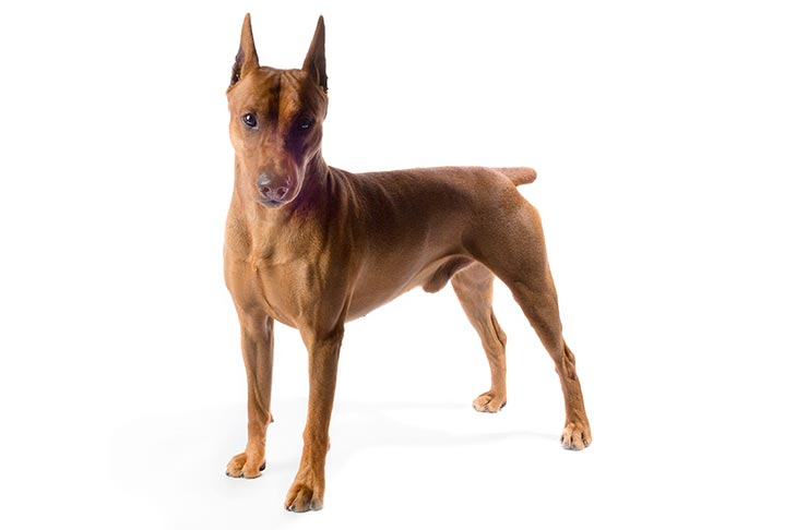 German Pinscher standing in three-quarter view facing forward