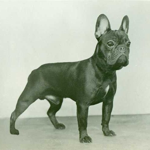 Super French Bulldog Dog Breed Information SG45