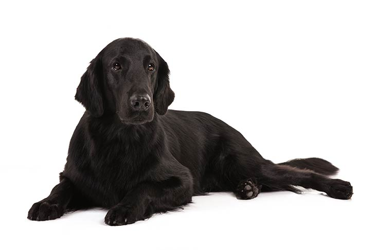 Flat-Coated Retriever lying in three-quarter view facing forward
